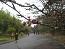 20090307sakura